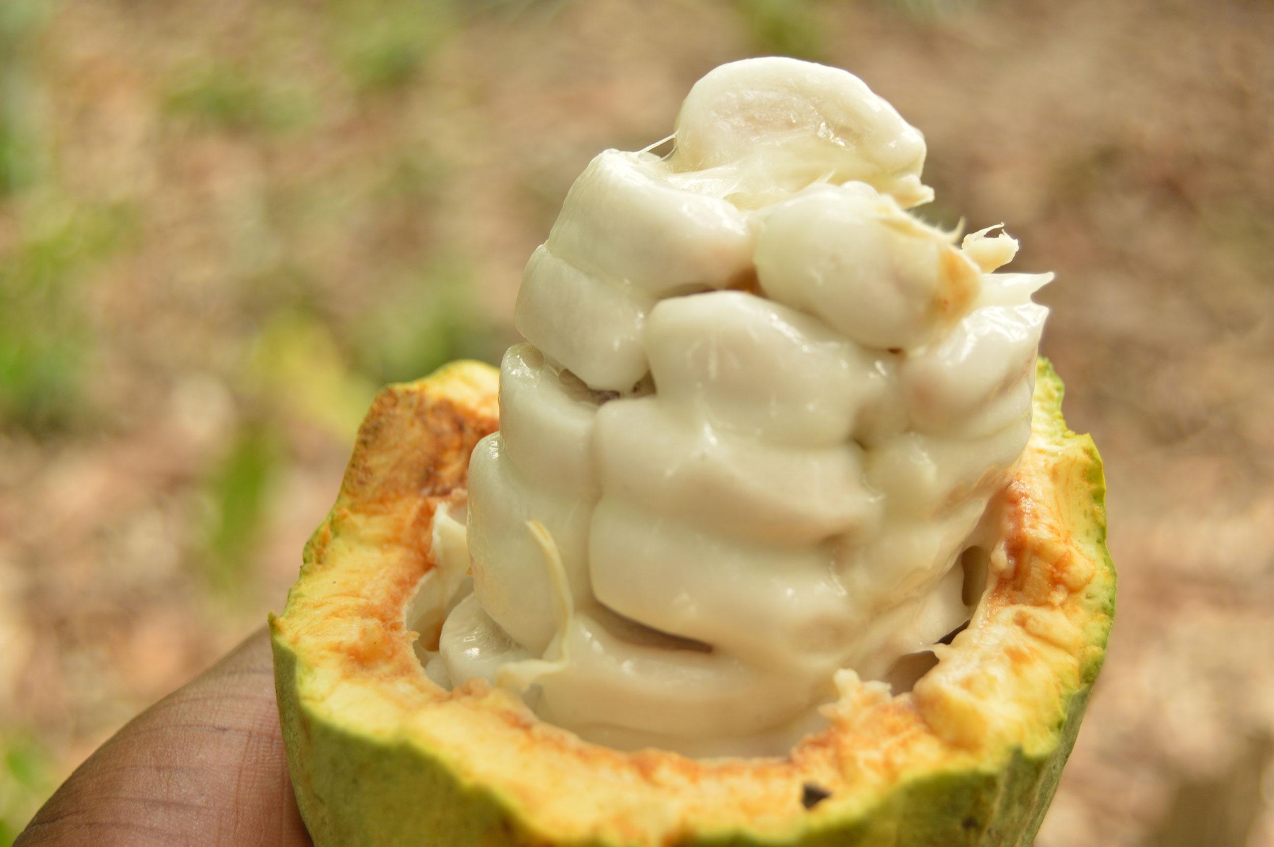 Cocoa drink made from cocoa juice and cocoa bean shells by kokojoo